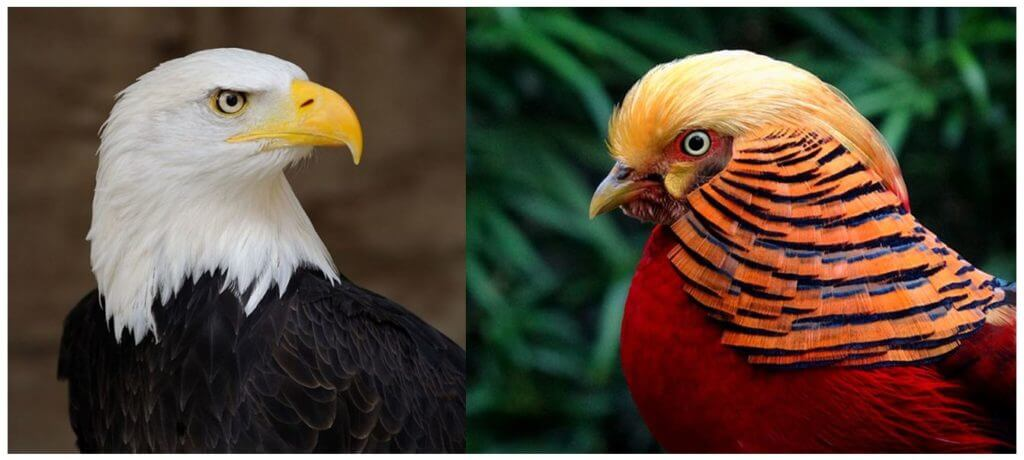 Eagle vs. Pheasant, Photos: Wikimedia Commons