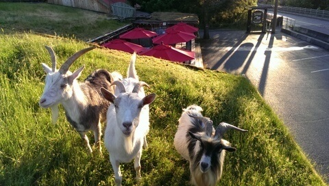 USP Goats on a Roof