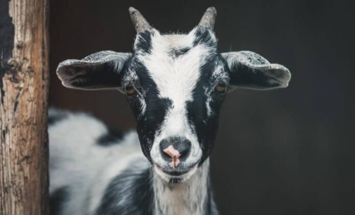 USP Goats